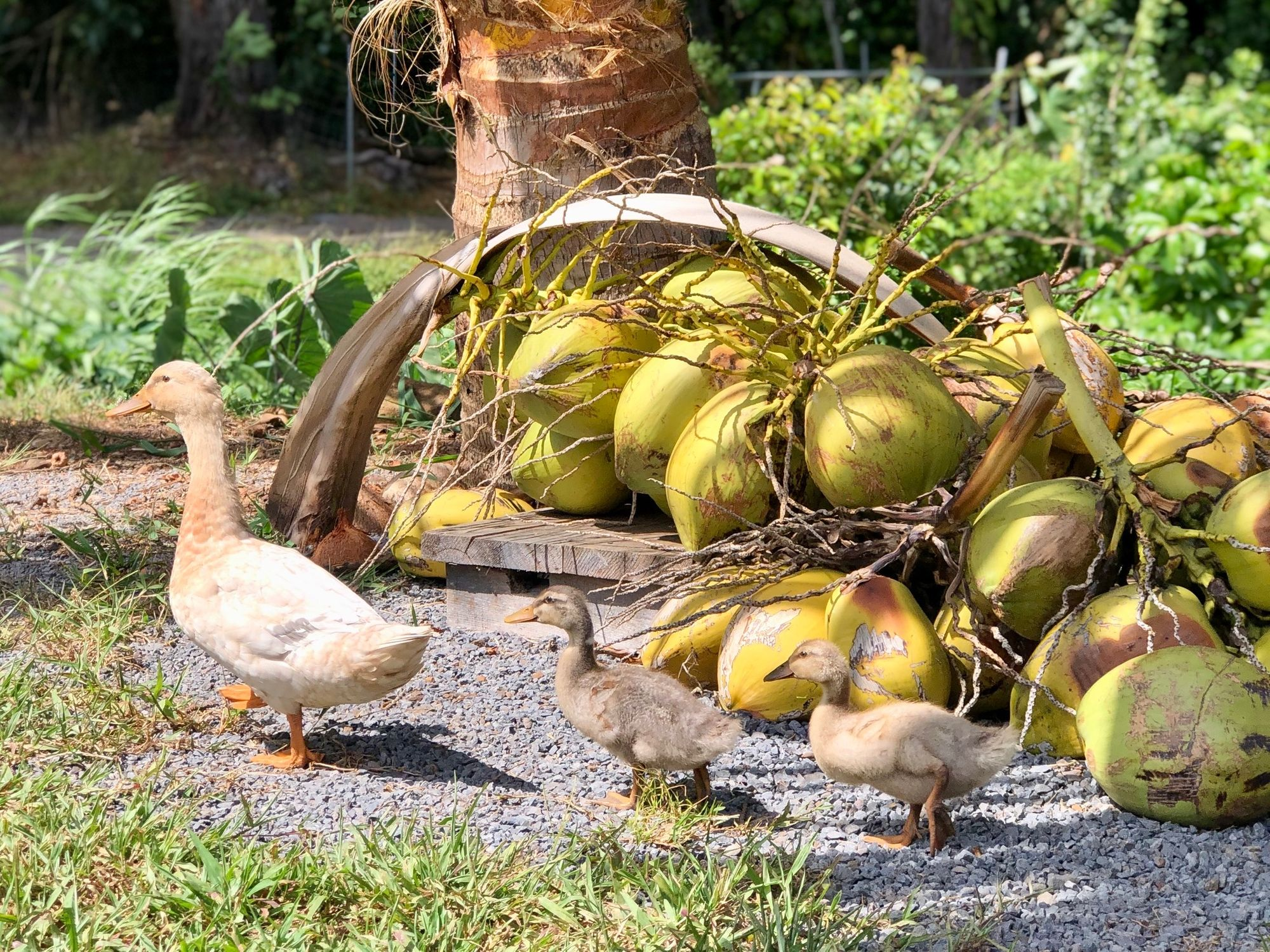 "5 Things You'll Learn From Maui's Part-Farm, Part-School ""Coconut Information"""